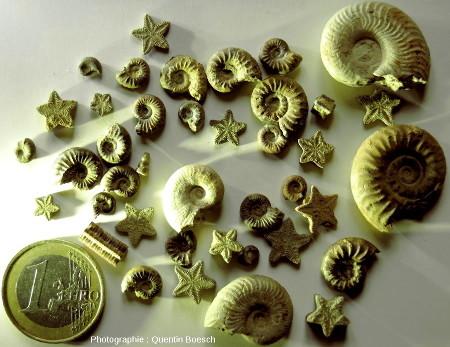 Ammonites et entroques du Lias