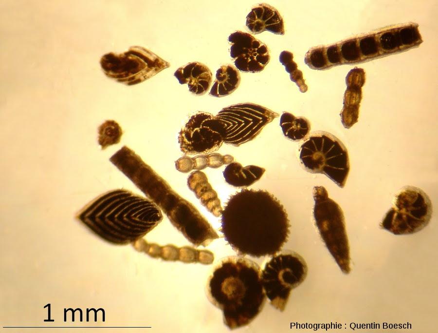 Foraminifères benthiques du Lias
