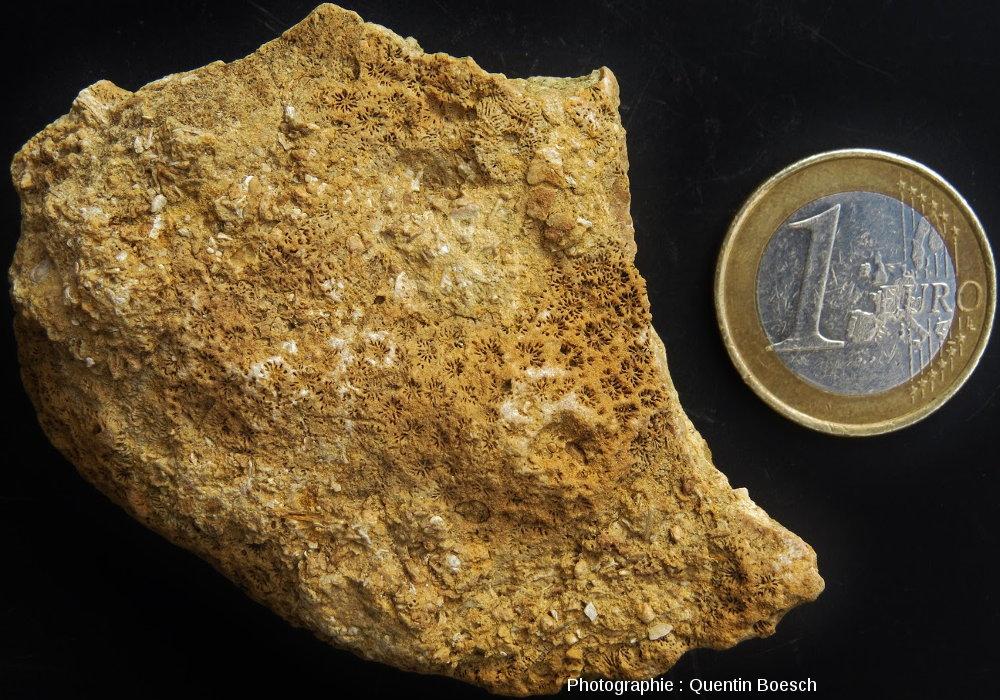 Corail fossile du Bajocien