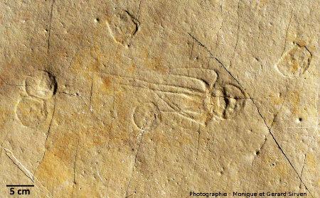 Fossiles de méduses, ici d'âge jurassique supérieur, gisement de Cerin, Ain