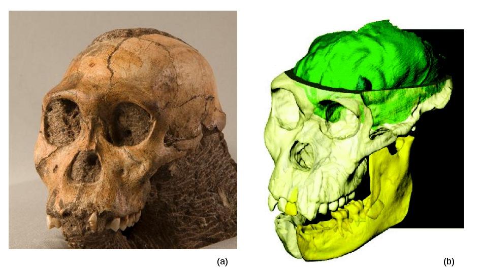 Le crâne de l'Au. sediba MH1 et sa reconstitution numérique