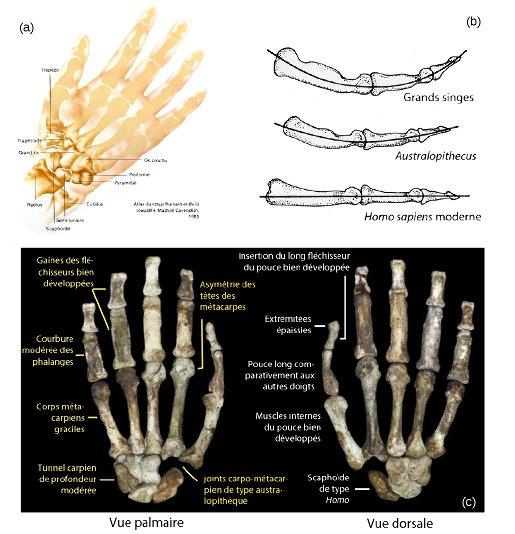 Structure de la main et du poignet chez l'humain actuel (a), les australopithèques et la nouvelle espèce Au. sediba