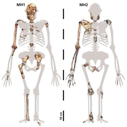 Pièces exhumées des spécimens MH1 et MH2 d'Au. sediba