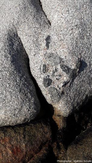 Enclaves pluricentimétriques arrondies à petits minéraux sombres, probables résultats d'un mélange de magmas et de l'assimilation incomplète de ce magma basique d'origine mantellique par le magma calco-alcalin