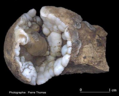 Gros plan sur un Helix ramondii à gouttes de calcédoine
