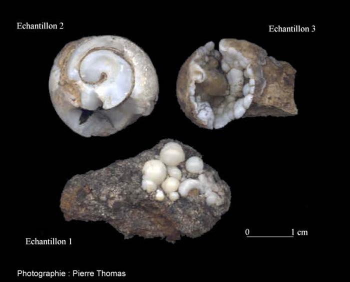 Vue d'Helix ramondi fossilisés