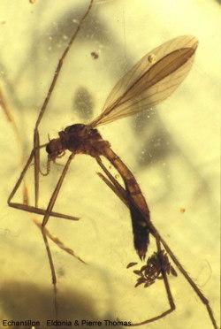 Un moustique pliocène pondant ses oeufs