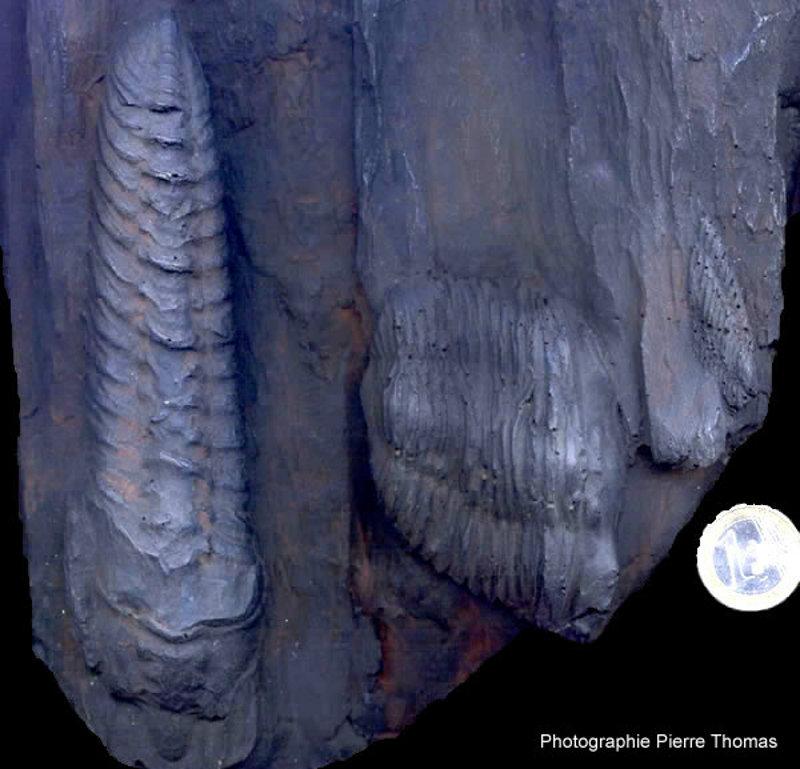 Fossiles de trilobites du Silurien