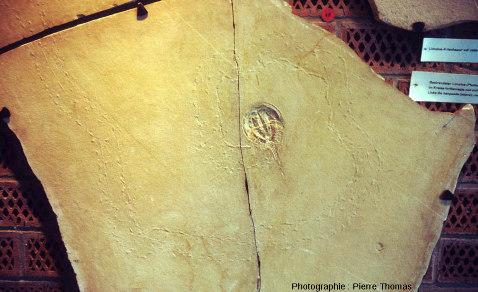 Une limule fossilisée