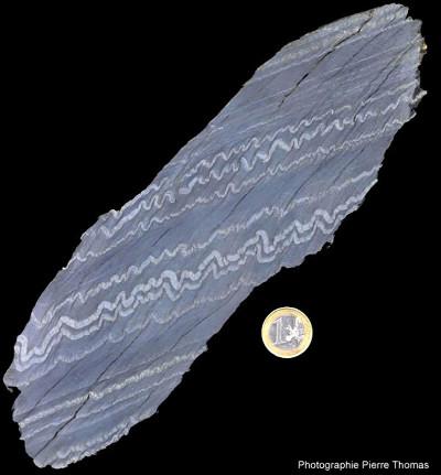 Microplis dans un schiste zébré