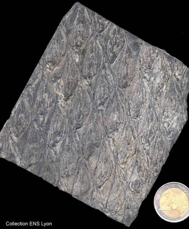 Échantillon de Lepodidendron fossile