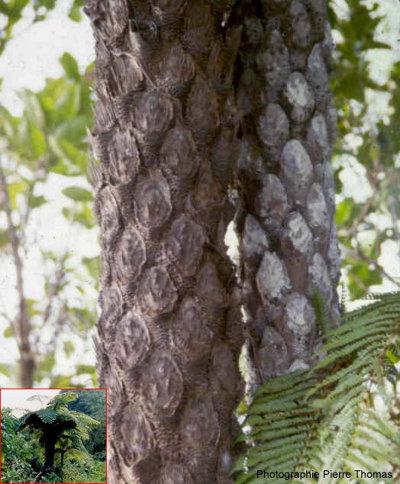 Un exemple de fougère arborescente actuelle