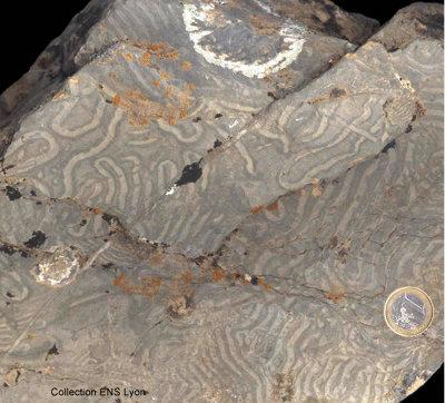 Échantillon d'un flysch crétacé à Helminthoïdes provenant de Crévoux, près d'Embrun (05).