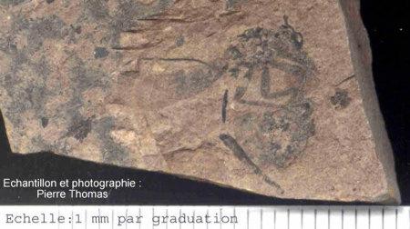 Photographie d'un fossile de punaise paléocène, rescapée de la crise Crétacé-Tertiaire