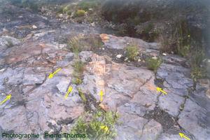 Nombreux fossiles de troncs à plat dans la couche de charbon du bassin de Graissessac (34)