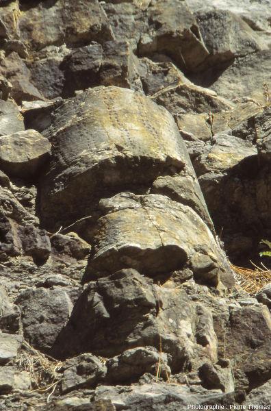 Souche de sigillaire dans un falaise de grès Champclauson, bassin d'Alès (30)
