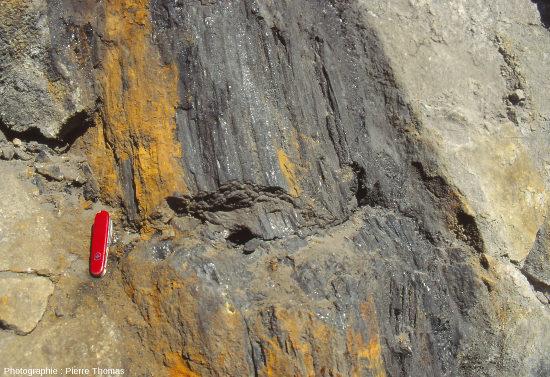 """Zoom du tronc en """"charbon"""" de la figure 1, bassin d'Alès (Gard)"""