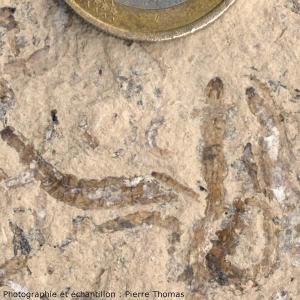 Vue de détail de plusieurs larves de diptère fossilisées dans une marne de Limagne