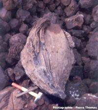Maxi bombe volcanique, en place dans la carrière du Puy de Pognat (63)