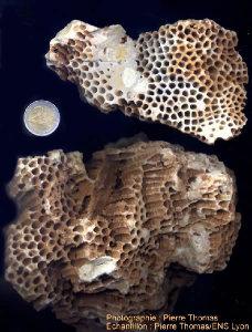 Vue d'ensemble d'un échantillon de coraux du Miocène