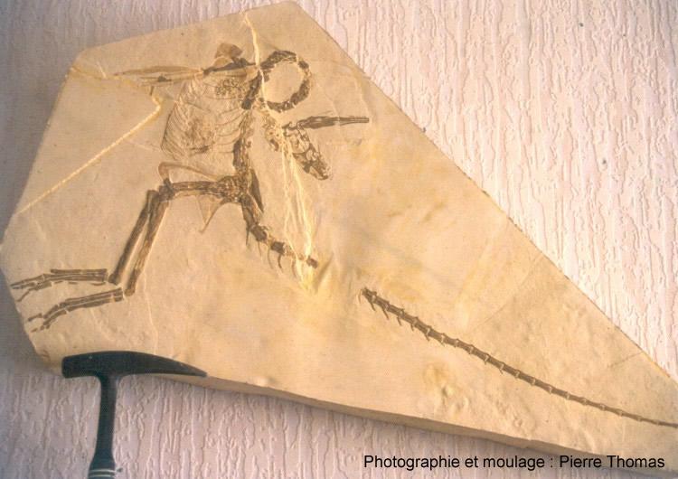 Compsognathus corallestris de Petit Plan de Canjuers, France (moulage)