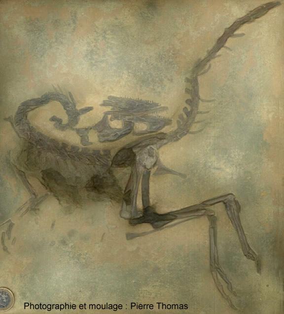Compsognathus longipes de Solnhofen, Allemagne (moulage)