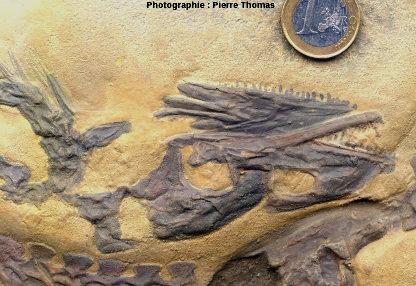 Détail de la tête de Compsognathus longipes de Solnhofen, Allemagne (moulage)