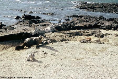 """La plage de """"piquants"""" d'oursins (Cidaris) et une otarie qui donne l'échelle, îles des Galapagos"""