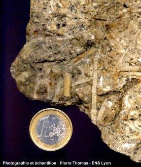 Vue de détail d'un calcaire bioclastique du jurassique lorrain