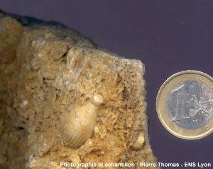 """Gros plan sur un piquant de """"pseudo-cidaris"""" fossile dans un calcaire du jurassique terminal du Languedoc"""