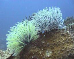 Crinoïdes photographiées dans l'Océan Indien