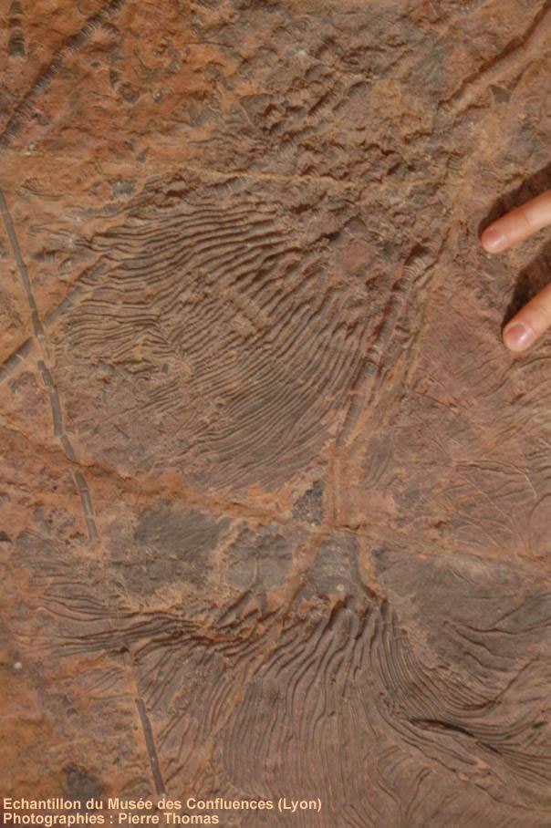 Scyphocrinites: détail de deux calices avec leurs bras