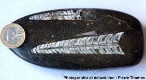 Trois fossiles d'orthocères en coupe longitudinale