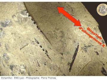 Dalle de marne avec bélemnites tronquées