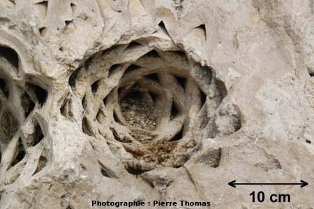 Terminaison de stipe (pseudo-tronc) de palmier stromatolithisé, Gannat (Allier)