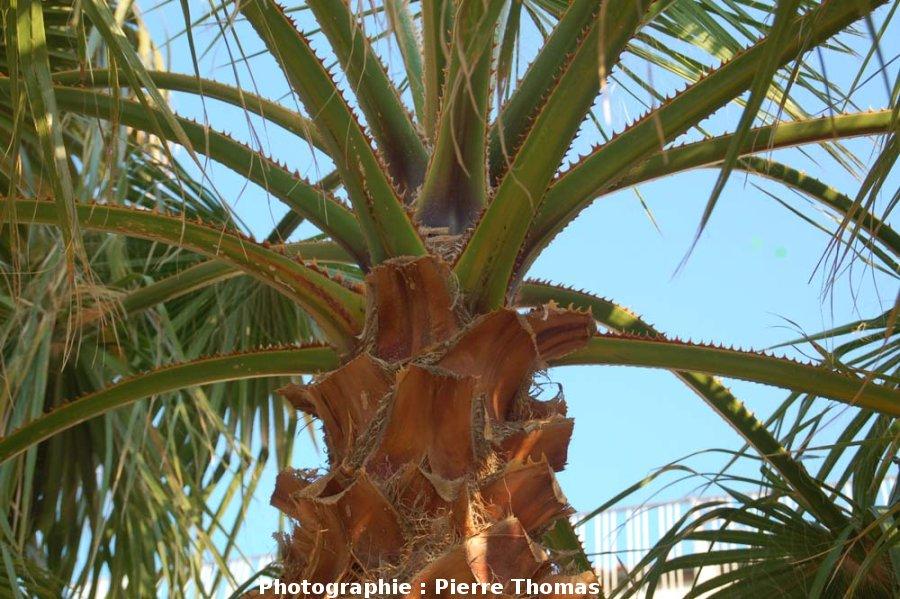 Terminaison d'un stipe de palmier, avec départ des feuilles