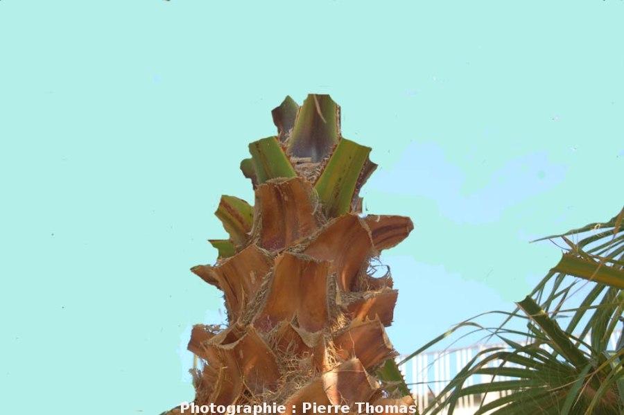 Terminaison d'un stipe de palmier, ici élagué