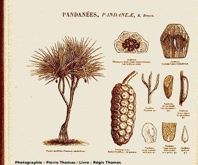 Planche concernant la familles des Pandanacées (anciennement Pandanées), classe des monocotylédones