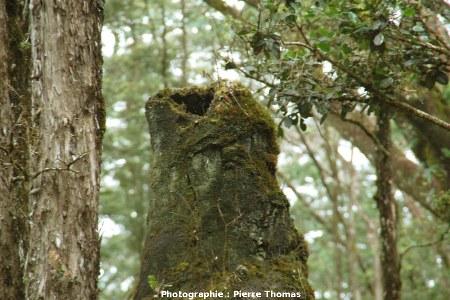 Vue de détai de du sommet d'un arbre de lave, Lava Tree State Park, Hawaii