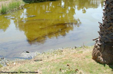 Hydrocarbures flottant sur l'eau, La Brea Tar Pits, Los Angeles, Californie