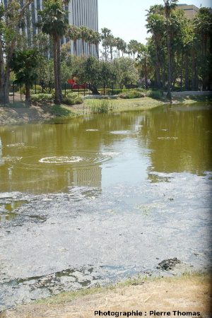 Remous occasionnés par des dégagements de méthane (CH4) contenant un peu de sulfure d'hydrogène (H2S), La Brea Tar Pits, Los Angeles, Californie