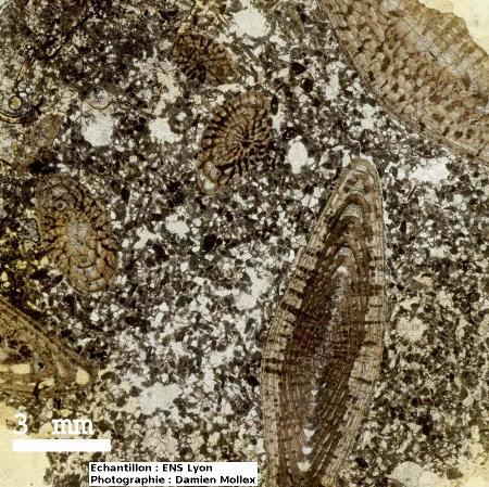 Lame mince (LPNA) de calcaire à nummulites