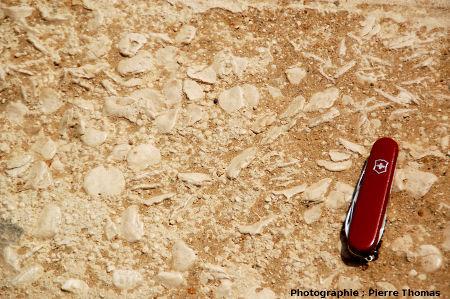 Nummulites photographiées sur la Grande Pyramide de Khéops (Gizeh, Égypte)