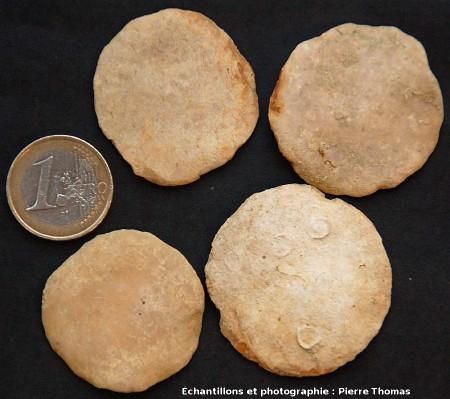 Nummulites gischensis, plateau de Gizeh (Égypte)
