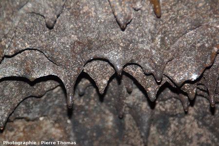 Gros plan sur des stalactites de basalte au plafond d'un tunnel de lave, Gruta das Torres, île de Pico, Açores