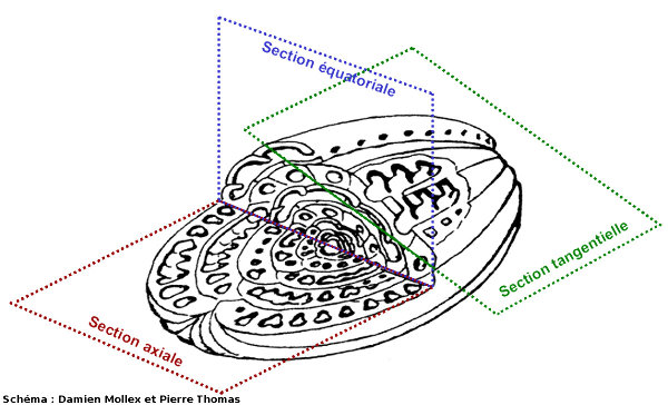 Schéma d'une alvéoline et des divers plans de coupe que l'on peut trouver dans une lame mince