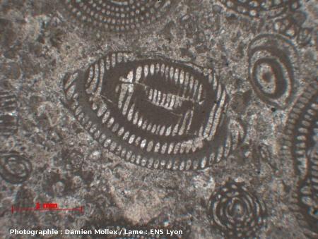 Section tangentielle d'une alvéoline, vue en LPNA