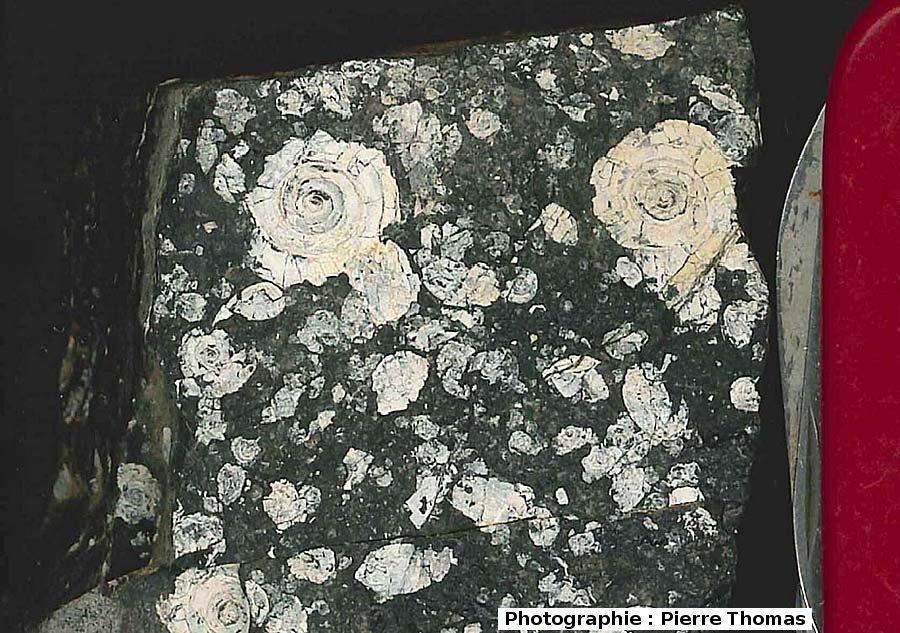 Gastéropodes lacustres dans un lignite cuisien , La Caunette (Hérault)