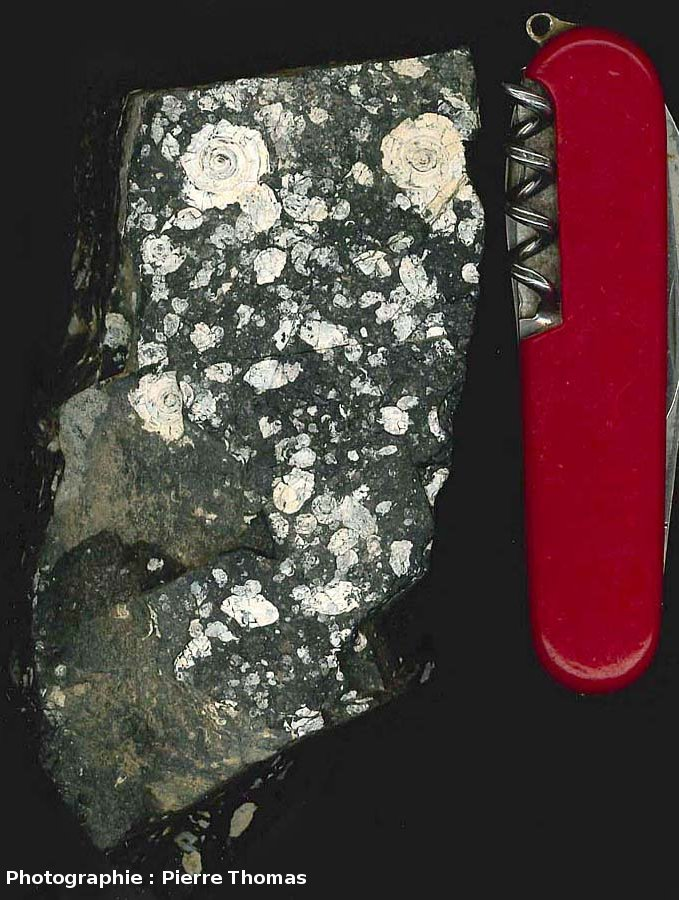 Échantillon de lignite cuisien à gastéropodes, La Caunette (Hérault)