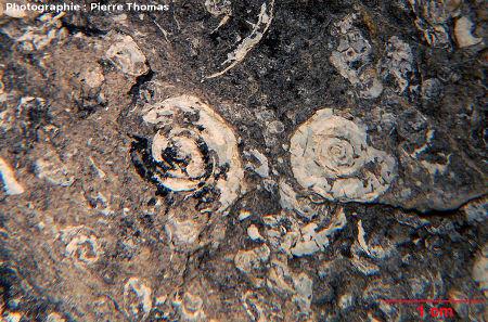 Vue rapprochée d'un autre échantillon de lignite à gastéropodes, La Caunette (Hérault)